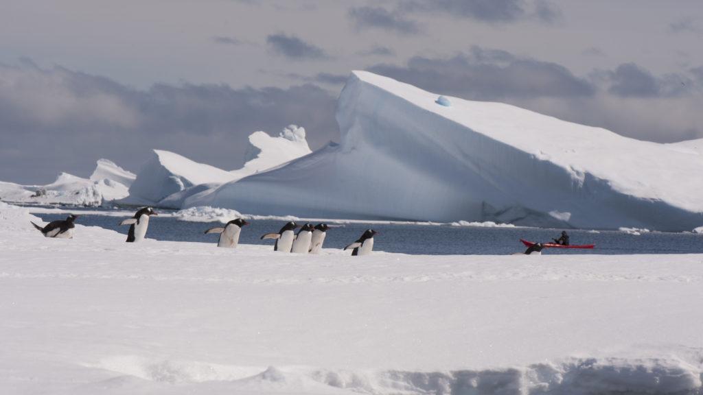 Pingvinene i Antarktis opplever en mer stabil sjøis enn det isbjørnen i Arktis gjør. Denne høsten har sjøisen sviktet også hos pingvinene. Foto: www.colourbox.com